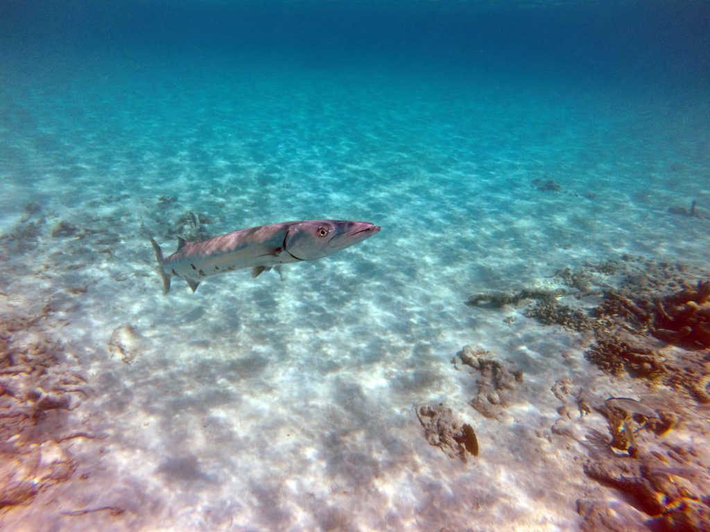 Wanderalot - Barracuda in Akumal Bay